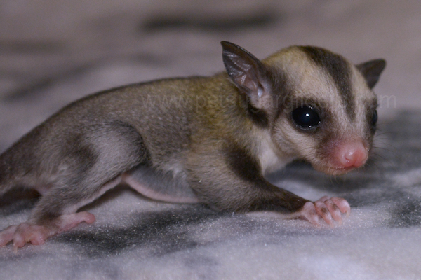 sugar glider joey for sale